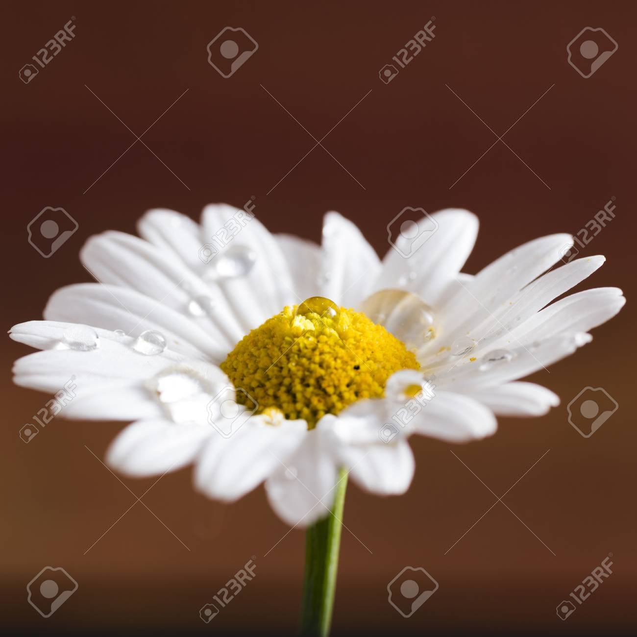 Closeup Of A Daisy Flower With Dew Drops On Colorful Background