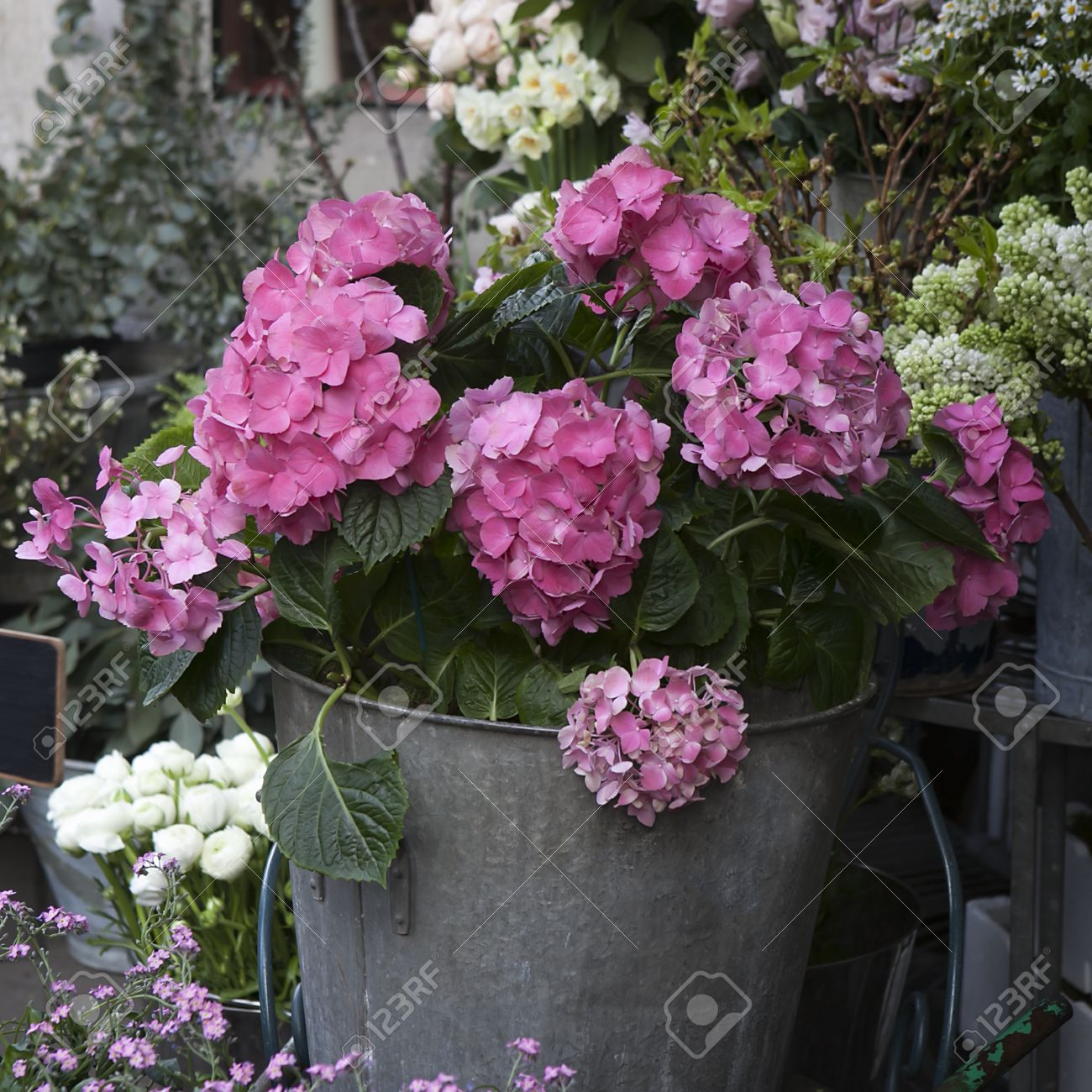 Cuidado De Las Hortensias En Maceta Latest Cmo Cultivar Rosas En