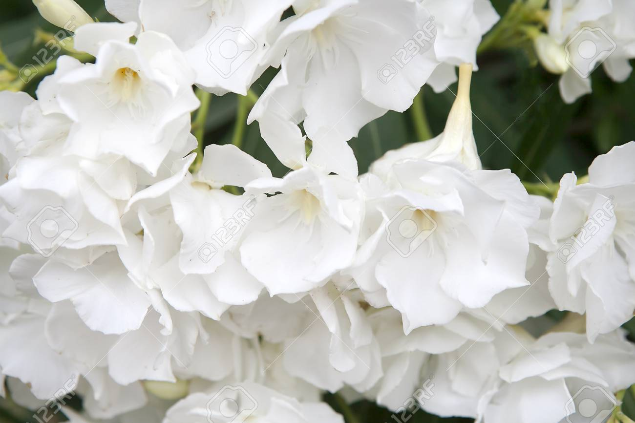 White oleander flowers as a background stock photo picture and stock photo white oleander flowers as a background mightylinksfo