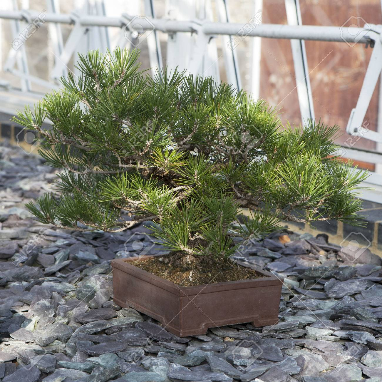 The Japanese Black Pine Bonsai Tree Pinus Thumbergii Stock Photo Picture And Royalty Free Image Image 72940088