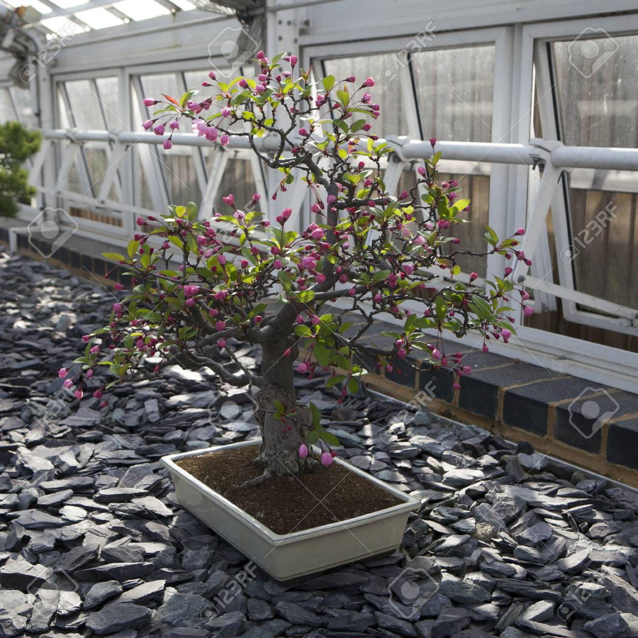 Malus Halliana Hall Crabapple Bonsai Tree Stock Photo Picture And Royalty Free Image Image 72940097