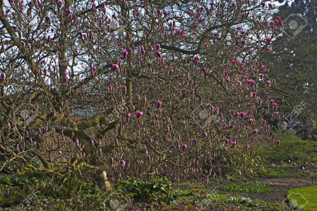 Spring In London Magnolia Leonard Messel Pink Flower And Stock