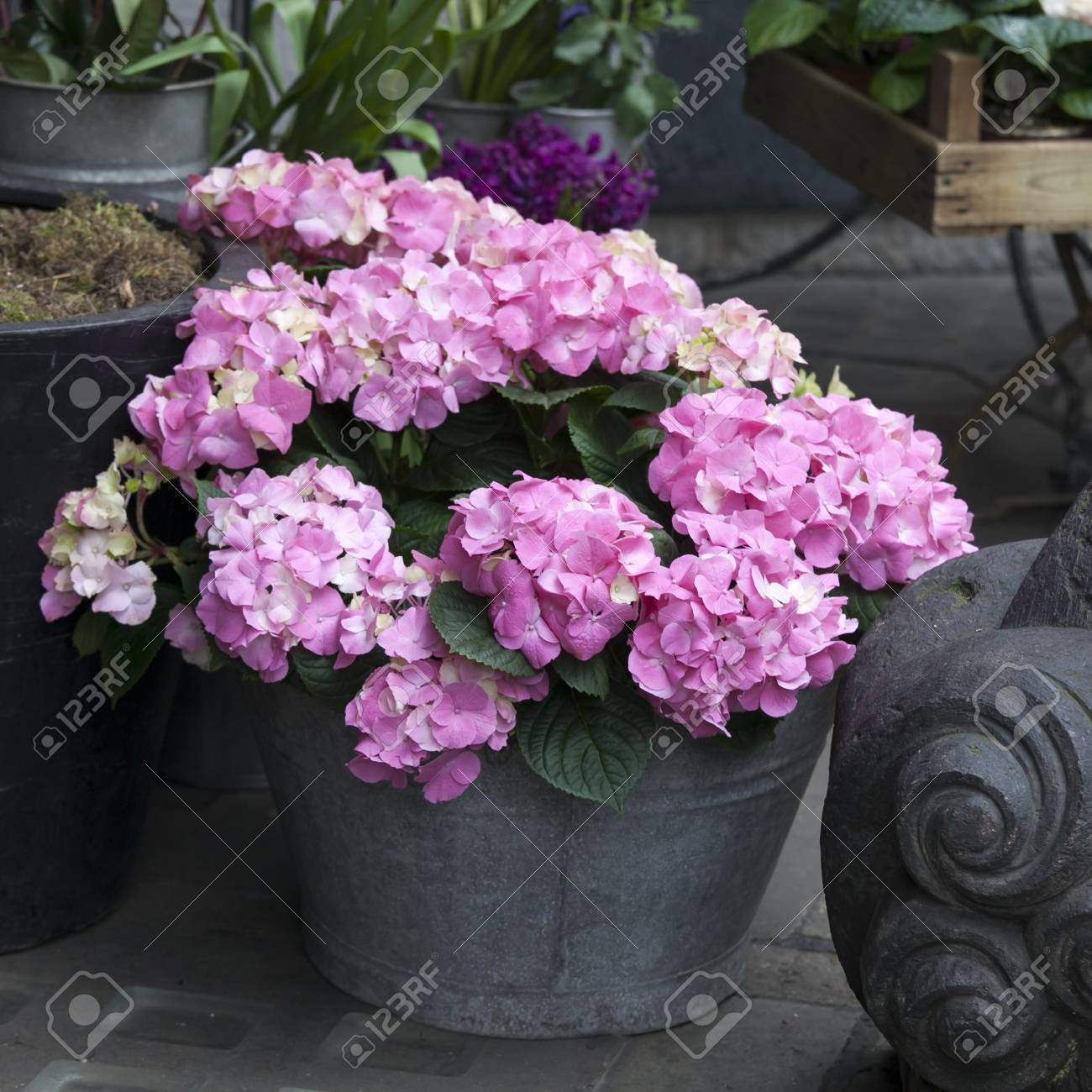 Bunch Of Hortensia Pink Flowers In A Decorative Vase Stock Photo