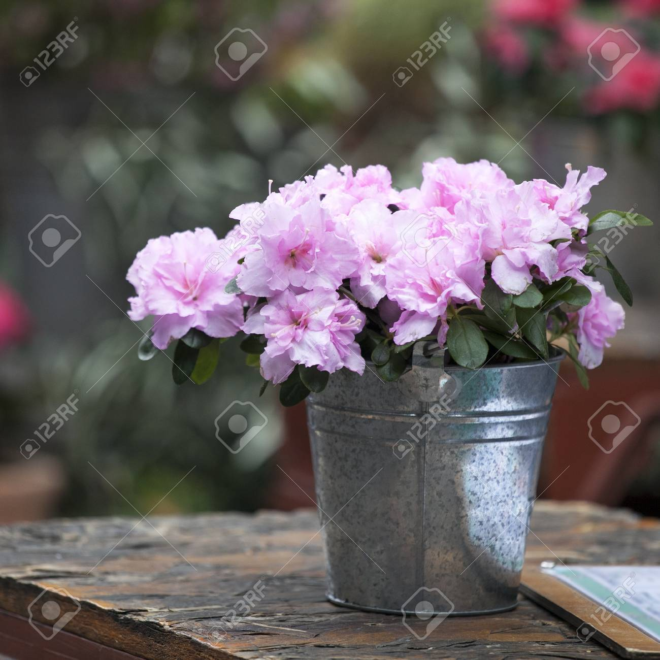 Indian Azalea Rhododendron Simsii Flowering Potted Plant In