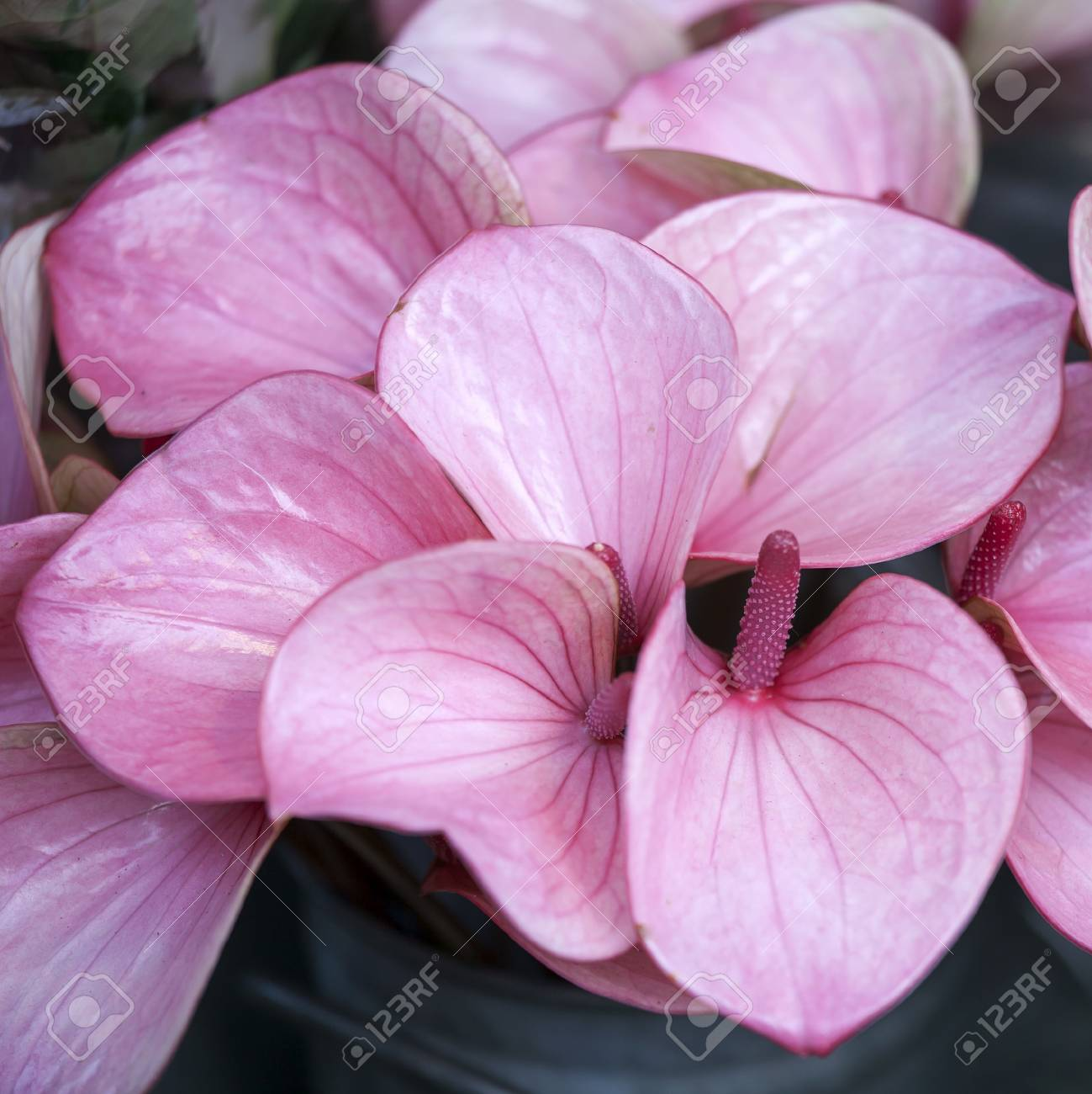 Anthurium Or Flamingo Flower Top View Stock Photo Picture And