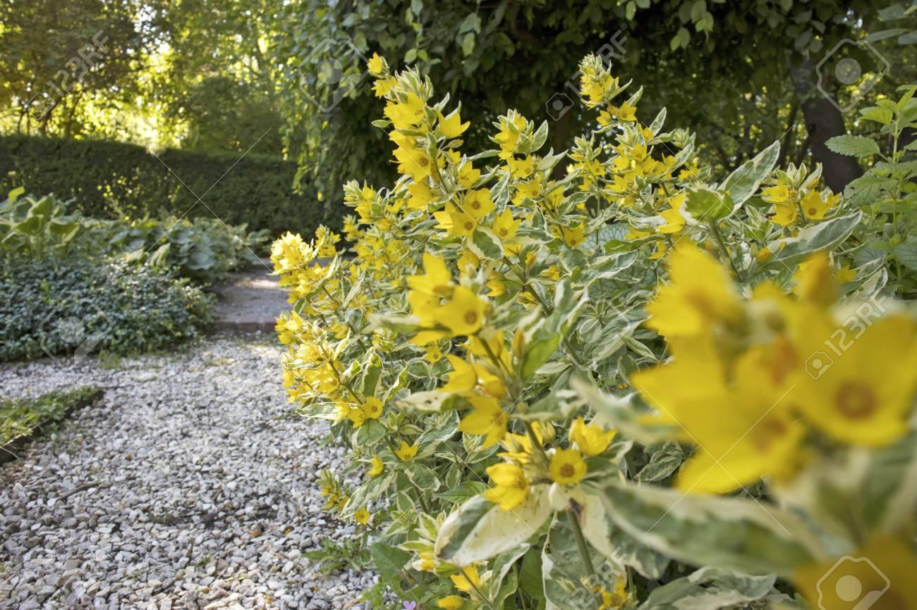 Beautiful Yellow Perennial Flowers Of Lysimachia Punctata Grow