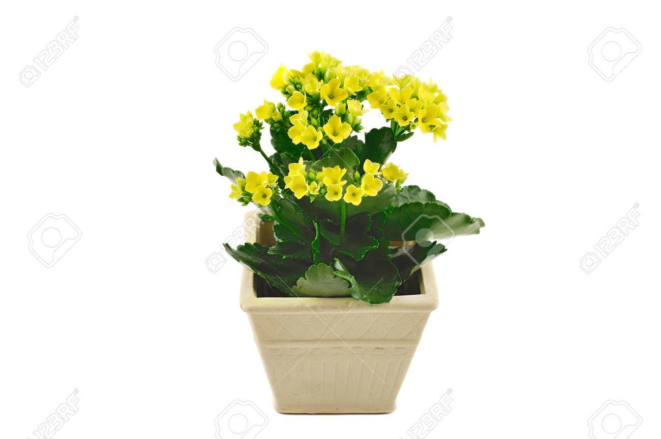 Small Pot With Yellow Flowers Isolated On White Stock Photo Picture