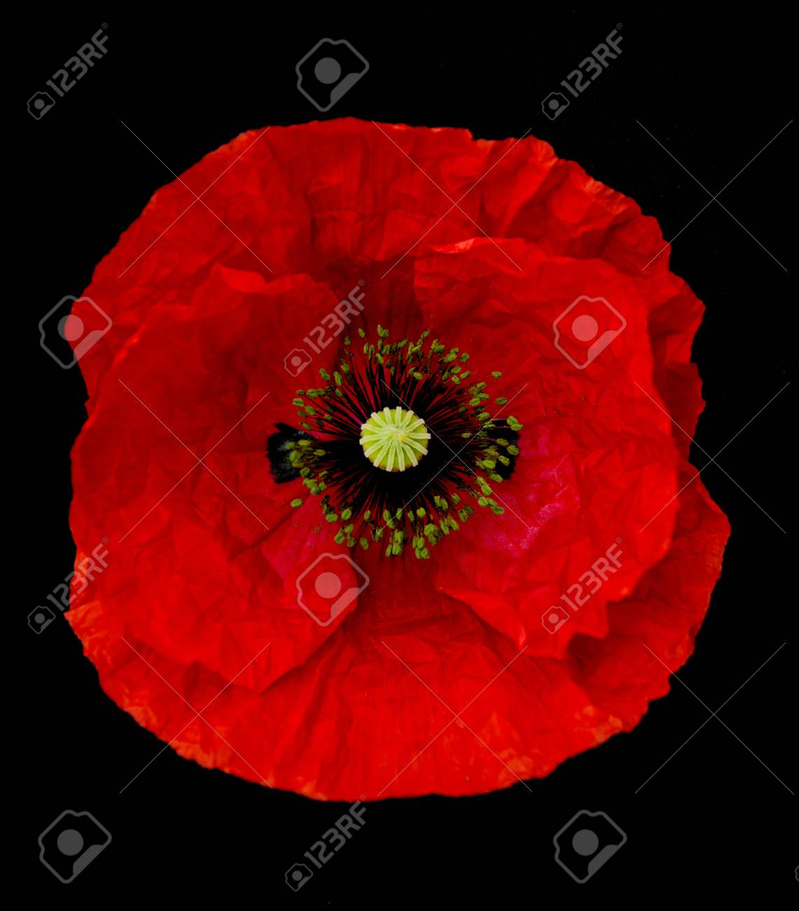 Red Poppy Flower Isolated On A Black Background Stock Photo Picture
