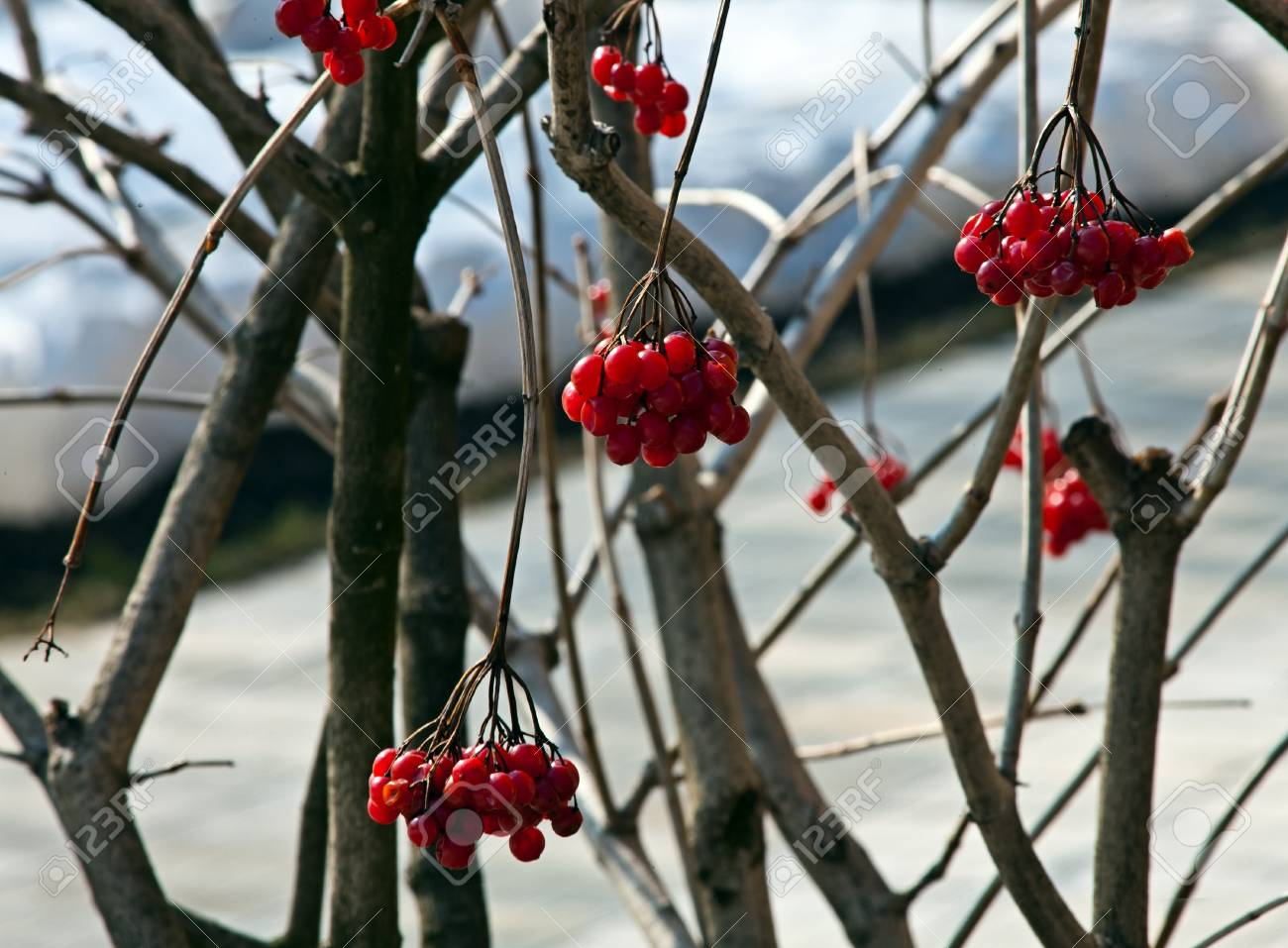 Red berries of a guelder-rose with waters drops after the rain Stock Photo - 17411020