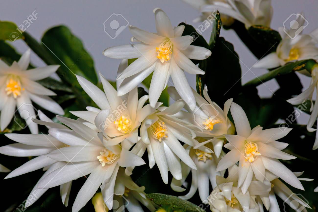 Fleur Blanche Schlumberger Fleur Blanche Schlumberger Decembriste