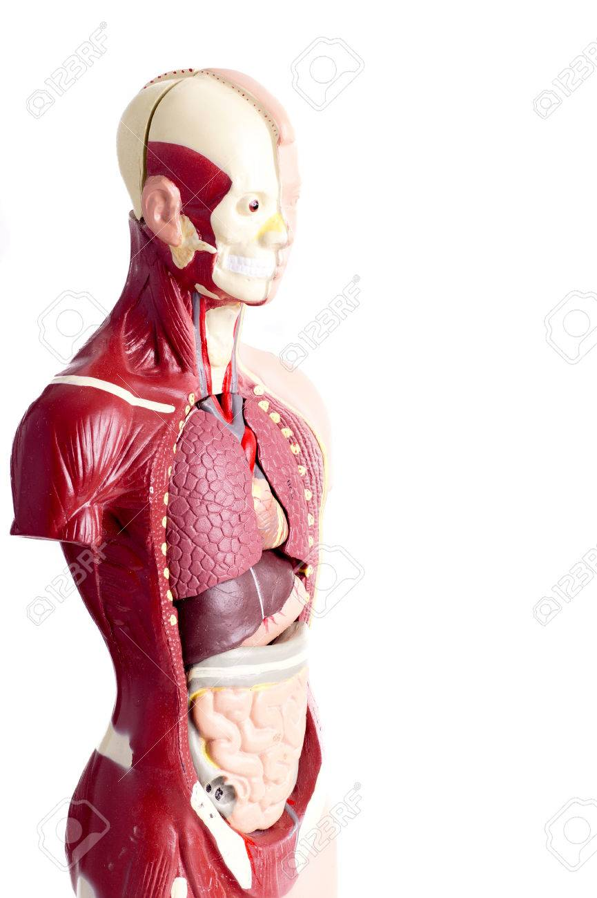 Human anatomy model used for teaching students and patients about human anatomy model used for teaching students and patients about the bodys vital organs of teachers ccuart Choice Image