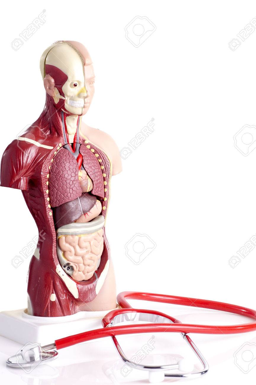 Human Anatomy Model And Stethoscope Used For Teaching Students