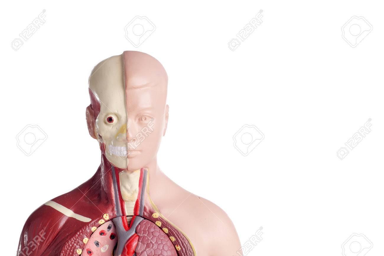 Modelo De Anatomía Humana Y El Estetoscopio Utilizados Para La ...