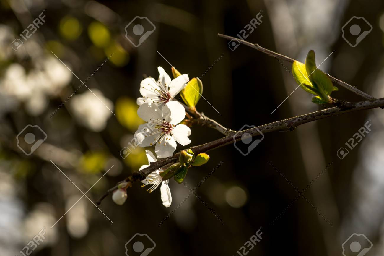 Spring Brings The Branches Of The Trees To Flowering Small Delicate