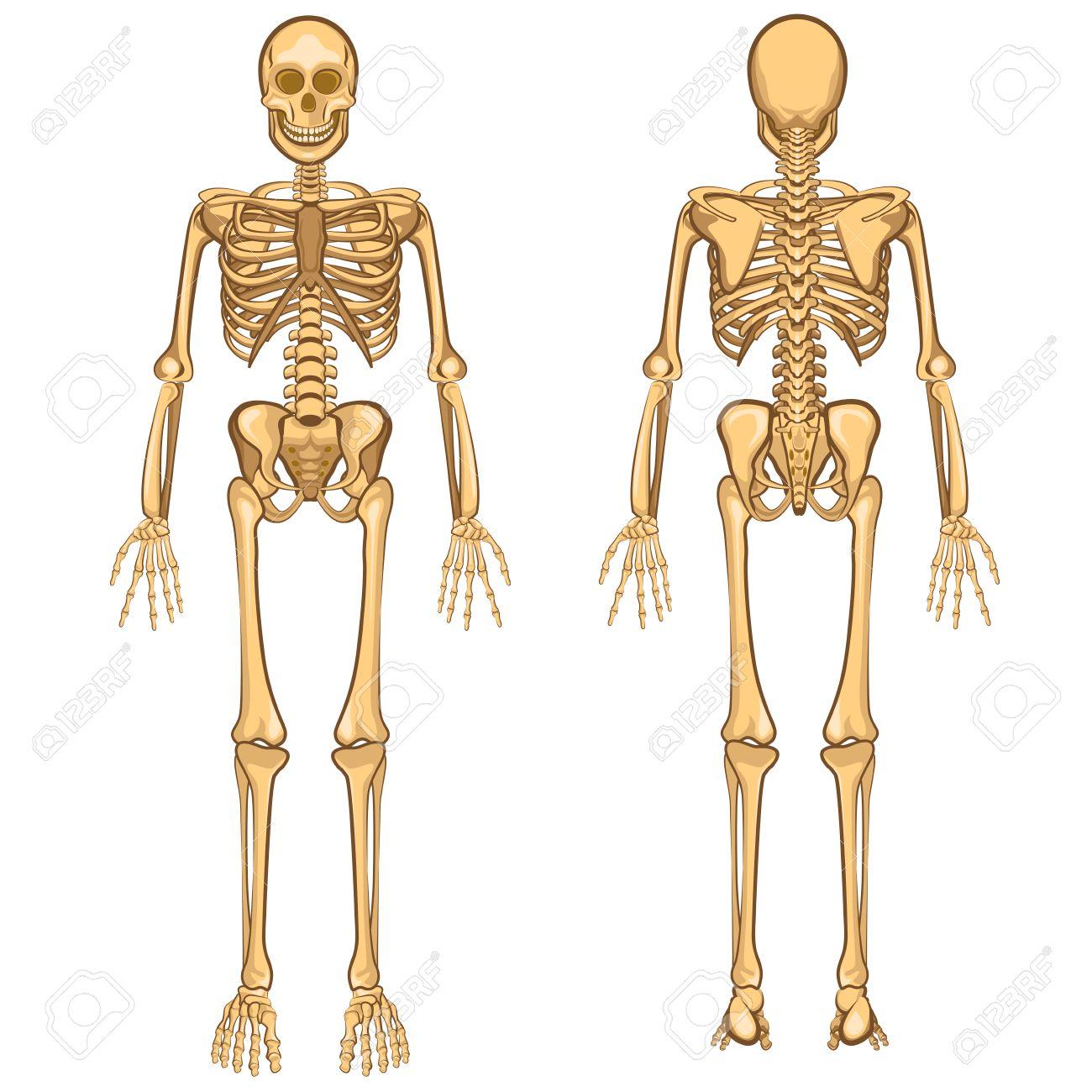 Menschlicher Körper Anatomie Skeleton Und Inneres Organ Vector ...