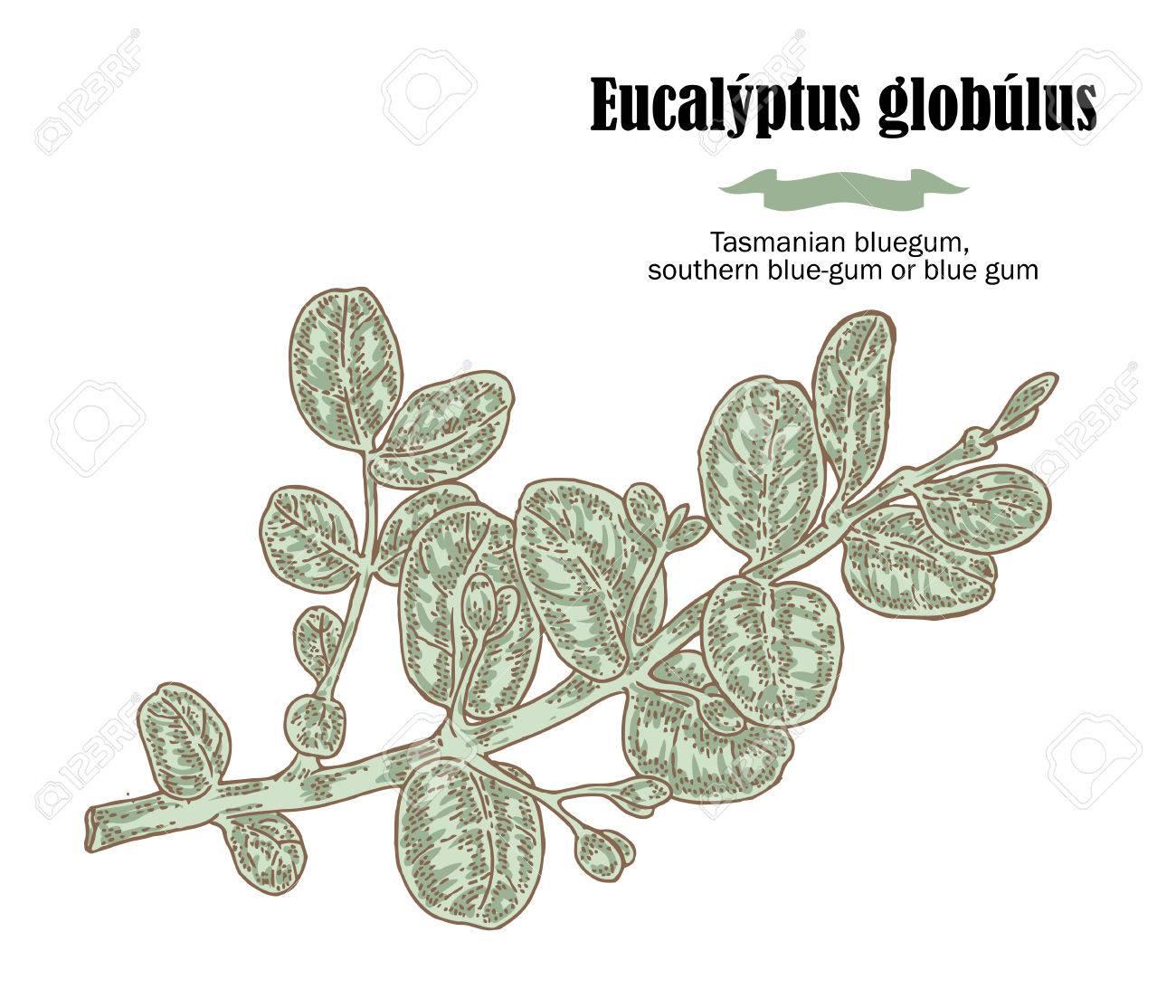 branche d'eucalyptus à la main. illustration vectorielle clip art