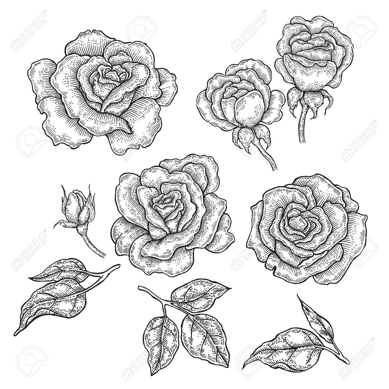 hand drawn rose flowers and leaves isolated on white background