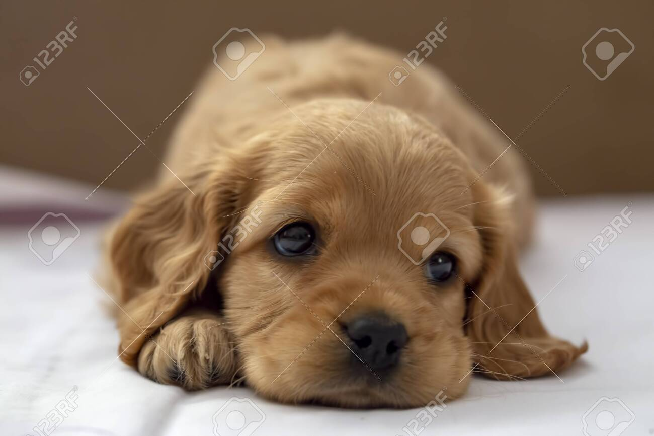 Pet Animal English Cocker Spaniel Puppy Sleeping Indoor Stock Photo Picture And Royalty Free Image Image 152926628