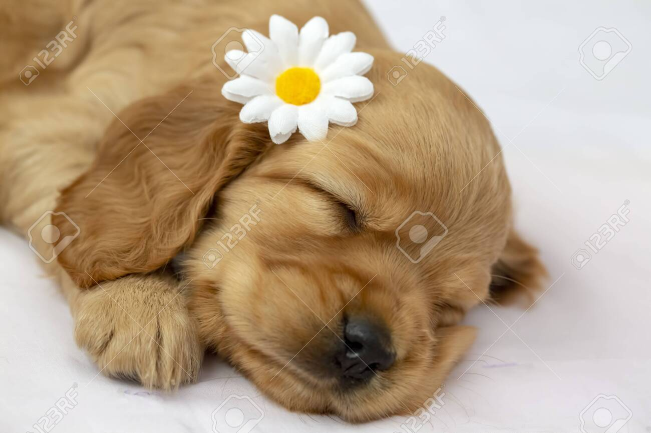 Pet Animal English Cocker Spaniel Puppy Sleeping Indoor Stock Photo Picture And Royalty Free Image Image 152698591