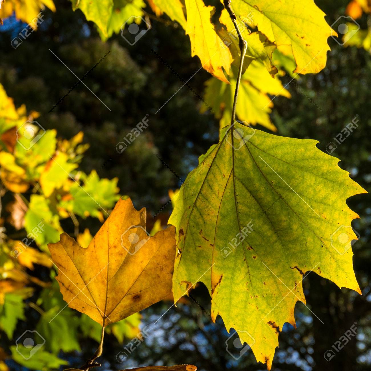 autumn yellow canadian maple leaves background. bright fall foliage