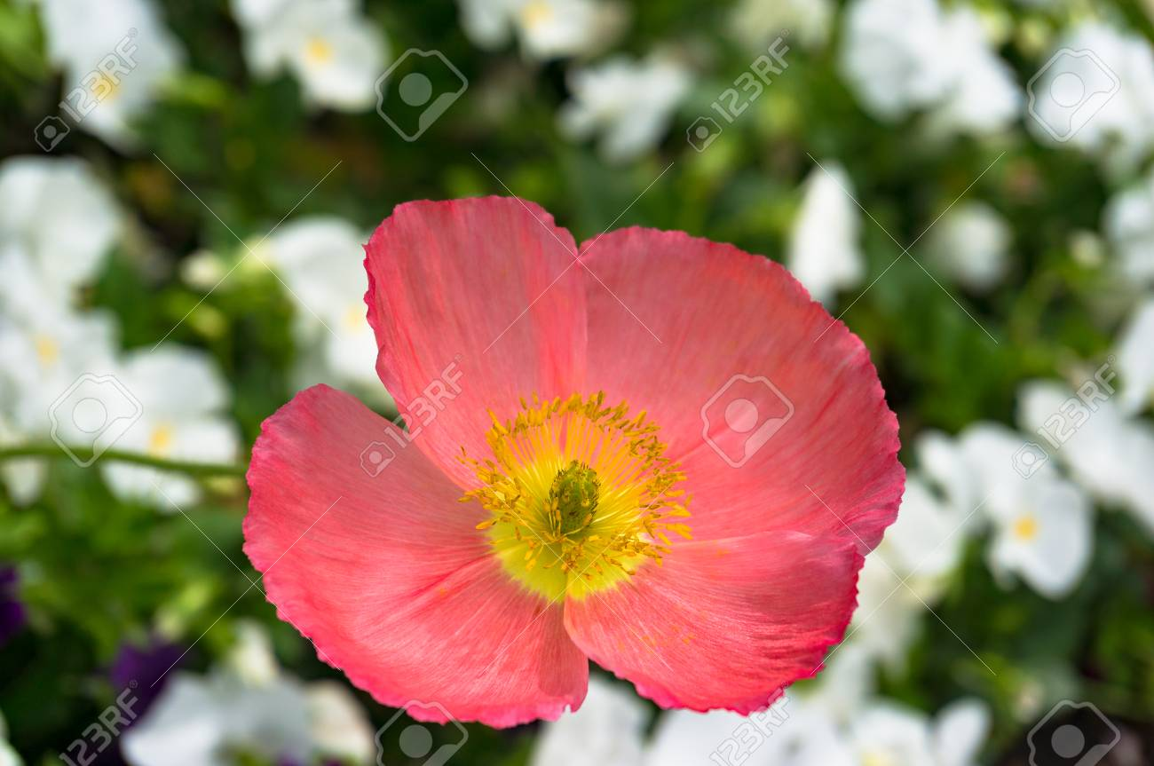 Blooming Pink Poppy Flower On Flowerbed With White Flowers On