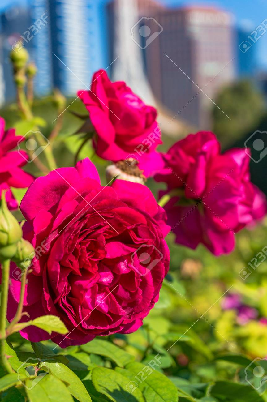 Flores Rosas Rojas Carmesís Brillantes Con Paisaje Urbano Borroso En