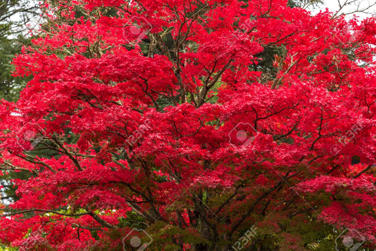 Autumn Landscape Of Japanese Maple Tree With Bright Red Leaves Stock