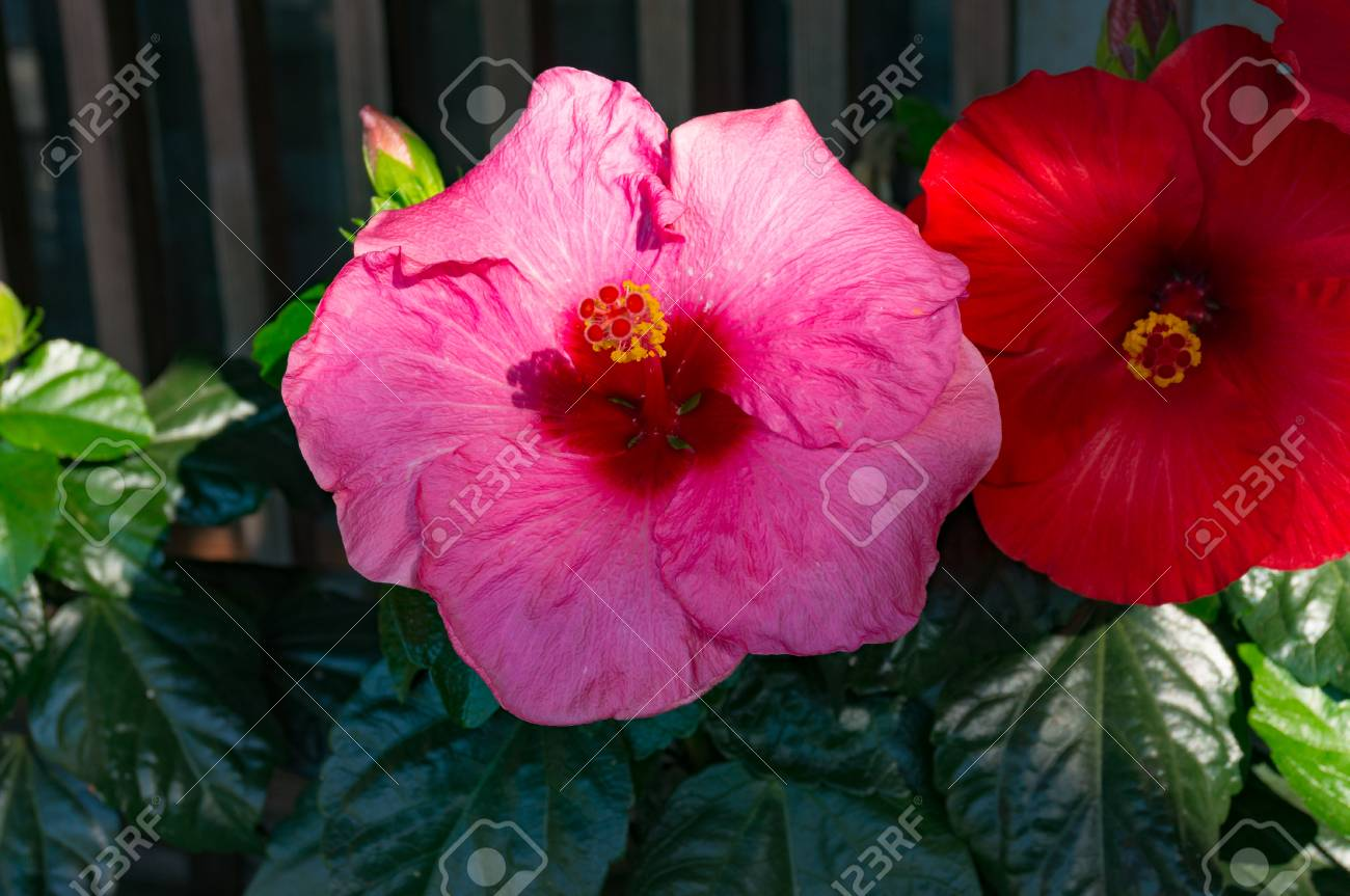 Bright Pink Hibiscus Flower Close Up Floral Background