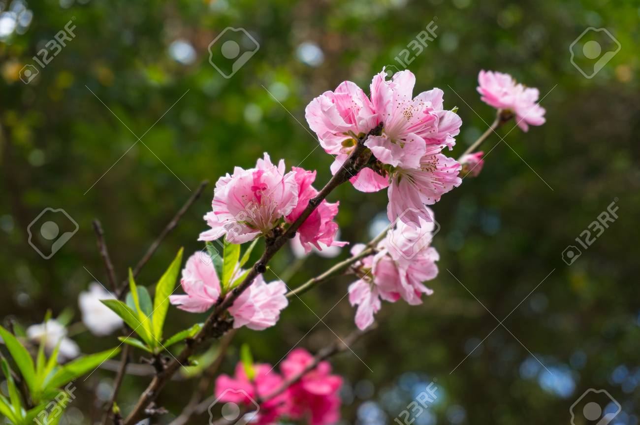 Flowering Tree Branch Of Prunus Persica Or Flowering Peach