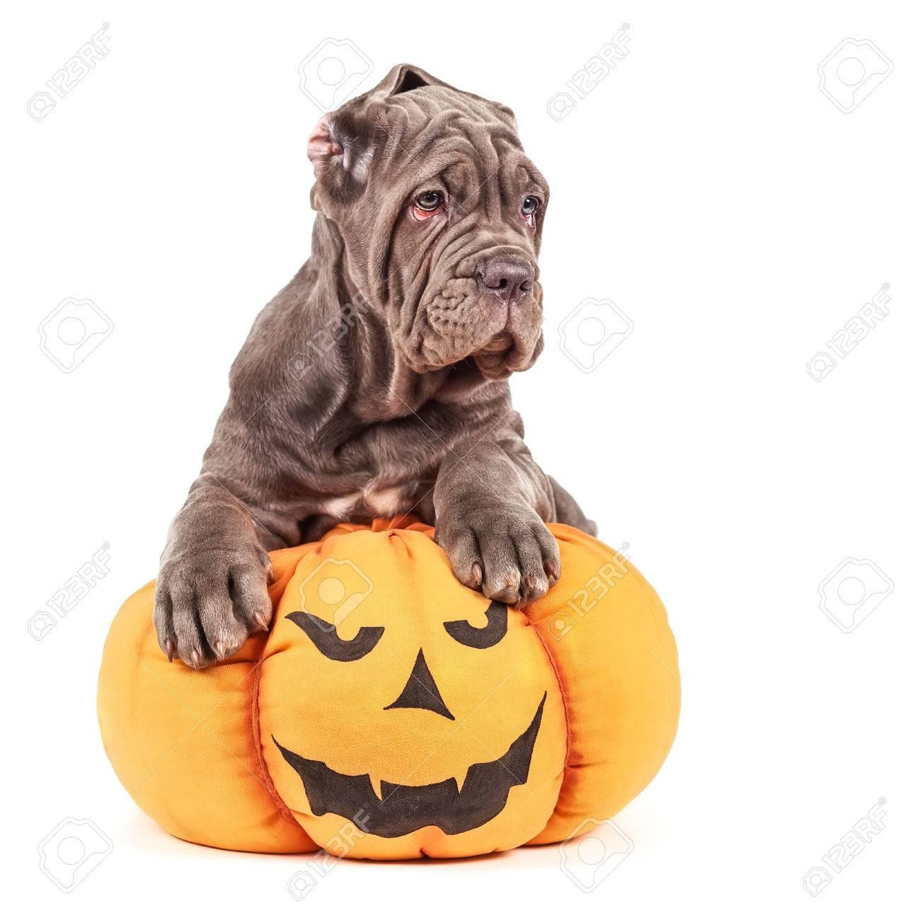 italian mastiff cane corso with toy pumpkin to halloween on white background stock photo 66036680
