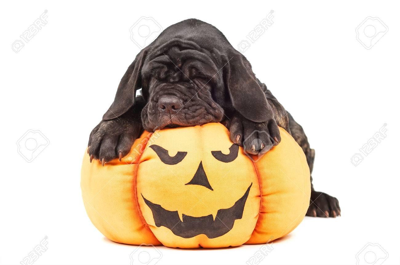 italian mastiff cane corso on toy pumpkin to halloween on white background stock photo 66037046