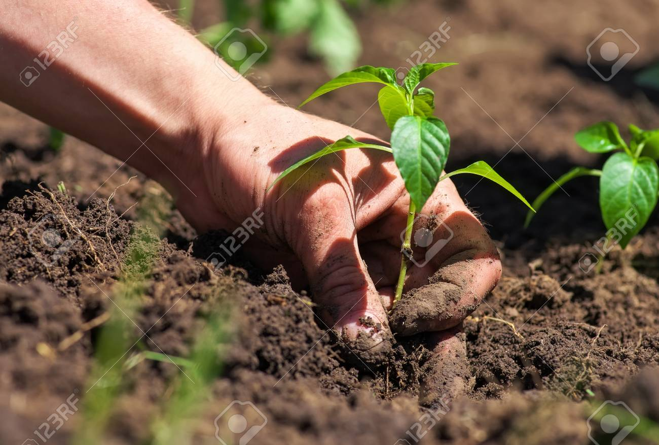 Dirty And Muddy Of Male Hands And Ground Plant Stock Photo, Picture ...