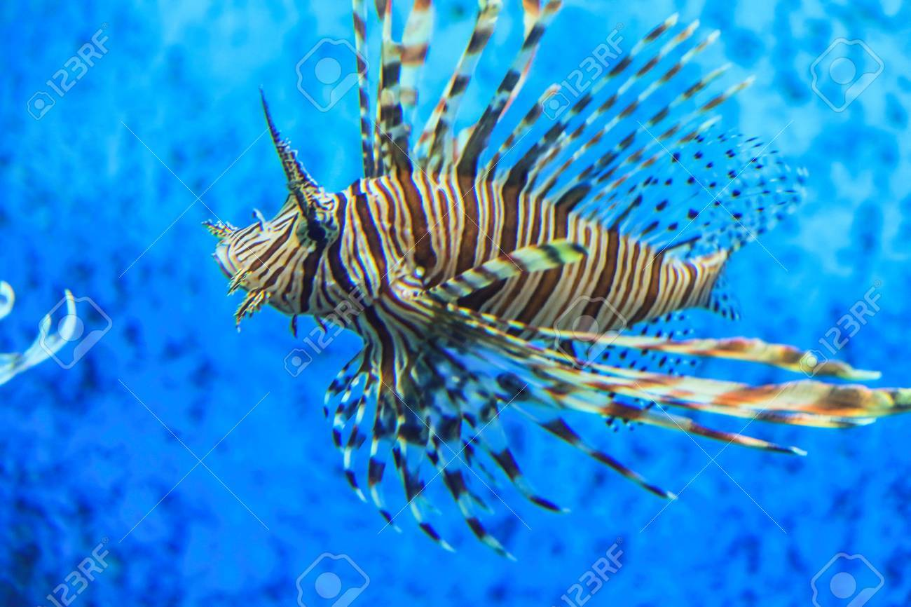 Lionfish with blue background Stock Photo - 28998174