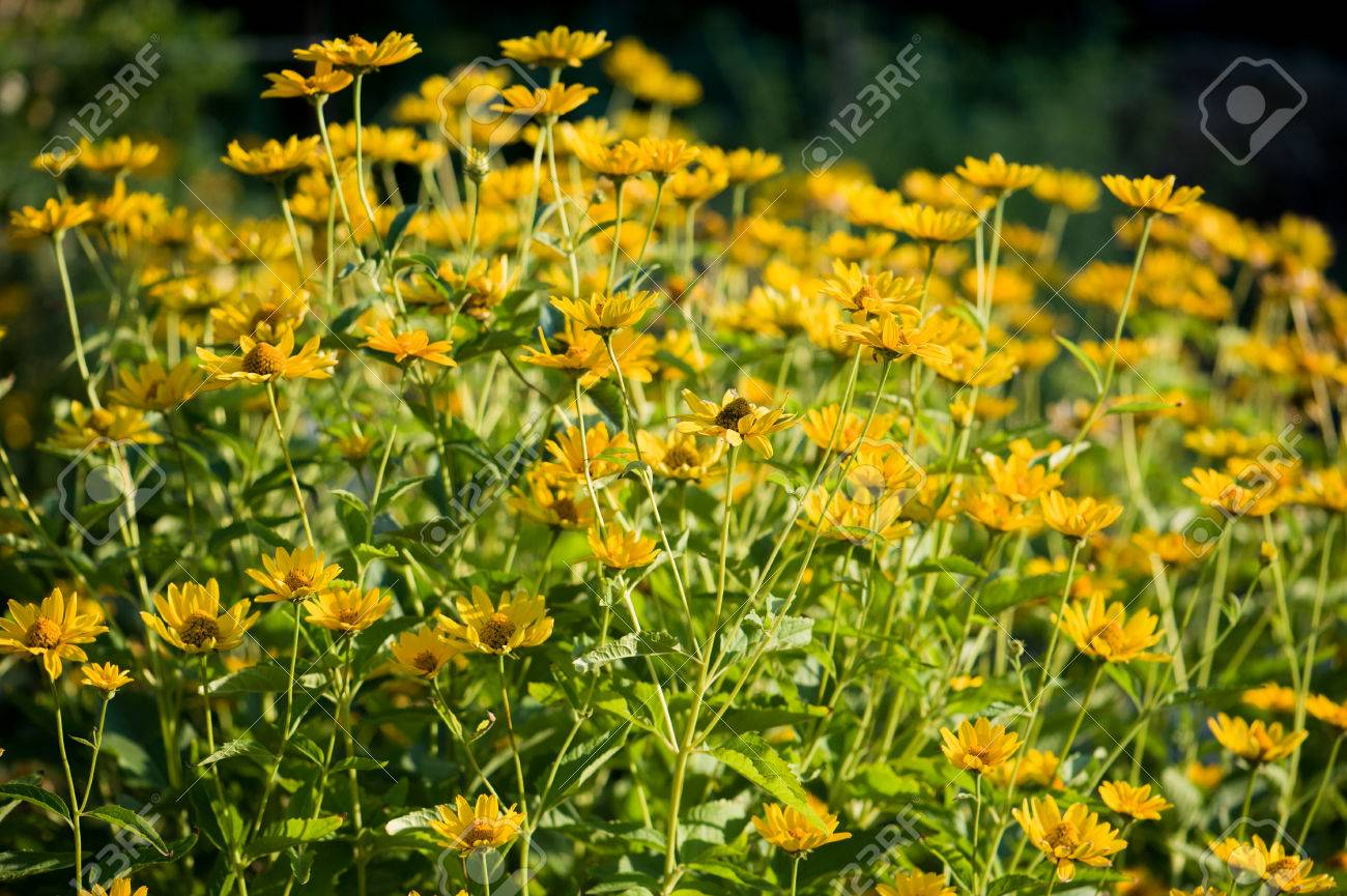 Little Cute Yellow Flowers Stock Photo Picture And Royalty Free