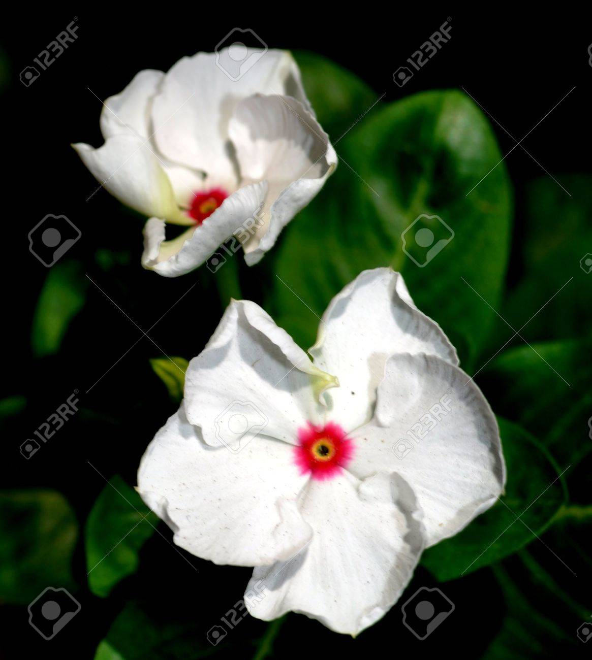 Tow White Flower With Red And Yellow Center Color Stock Photo