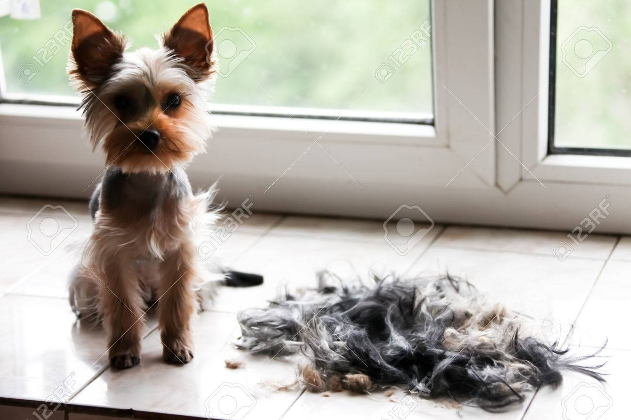 Yorkshire Terrier Grooming Stock Photo Picture And Royalty Free