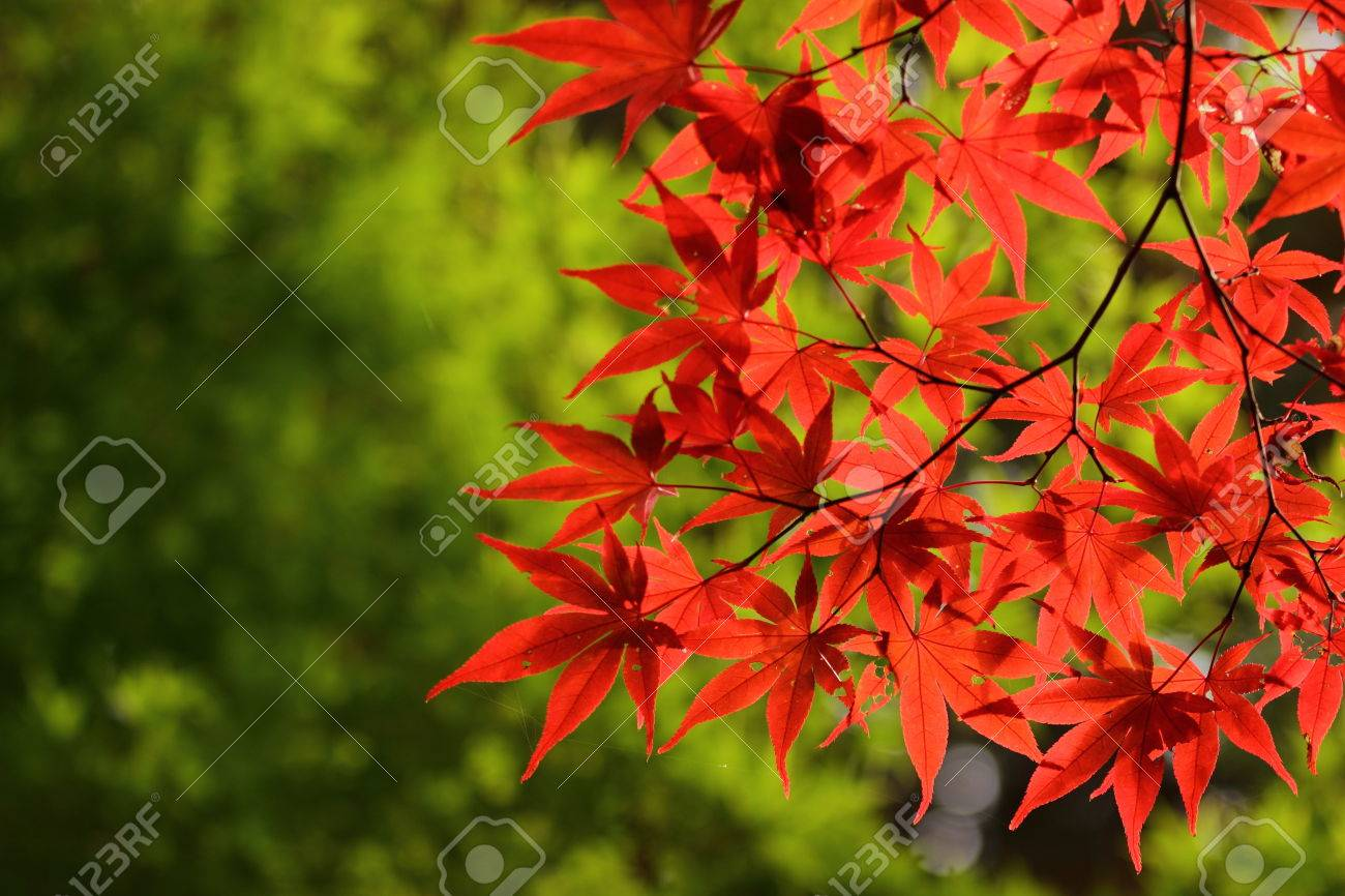 Autumn In Japan, The Leaves Of The Trees Change To Beautiful.. Stock ...