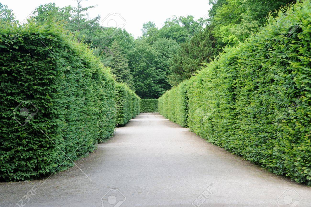 path between hedges with green foliage Stock Photo - 16879045