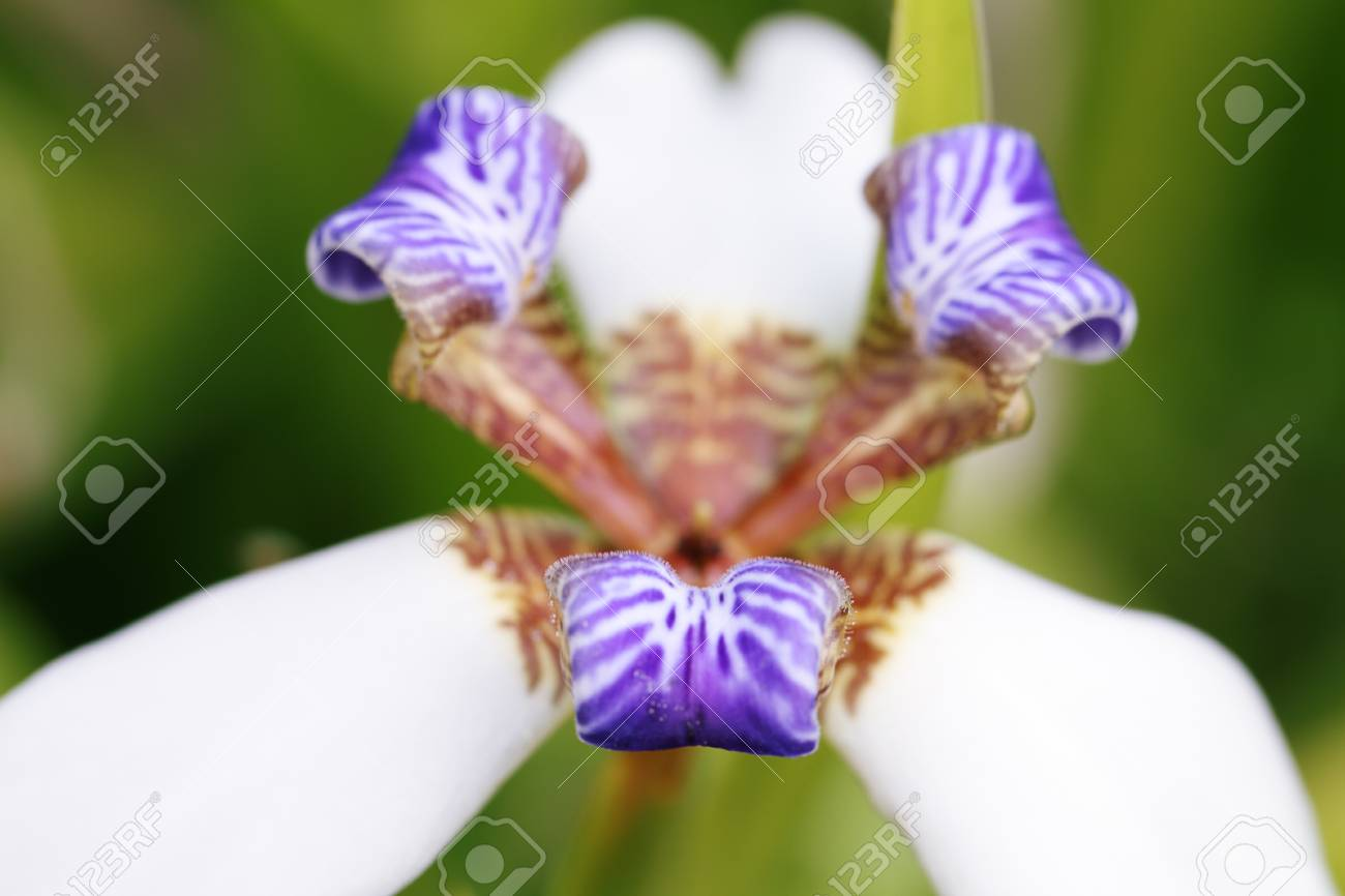 Blue And White Flower In Hawaii Stock Photo Picture And Royalty