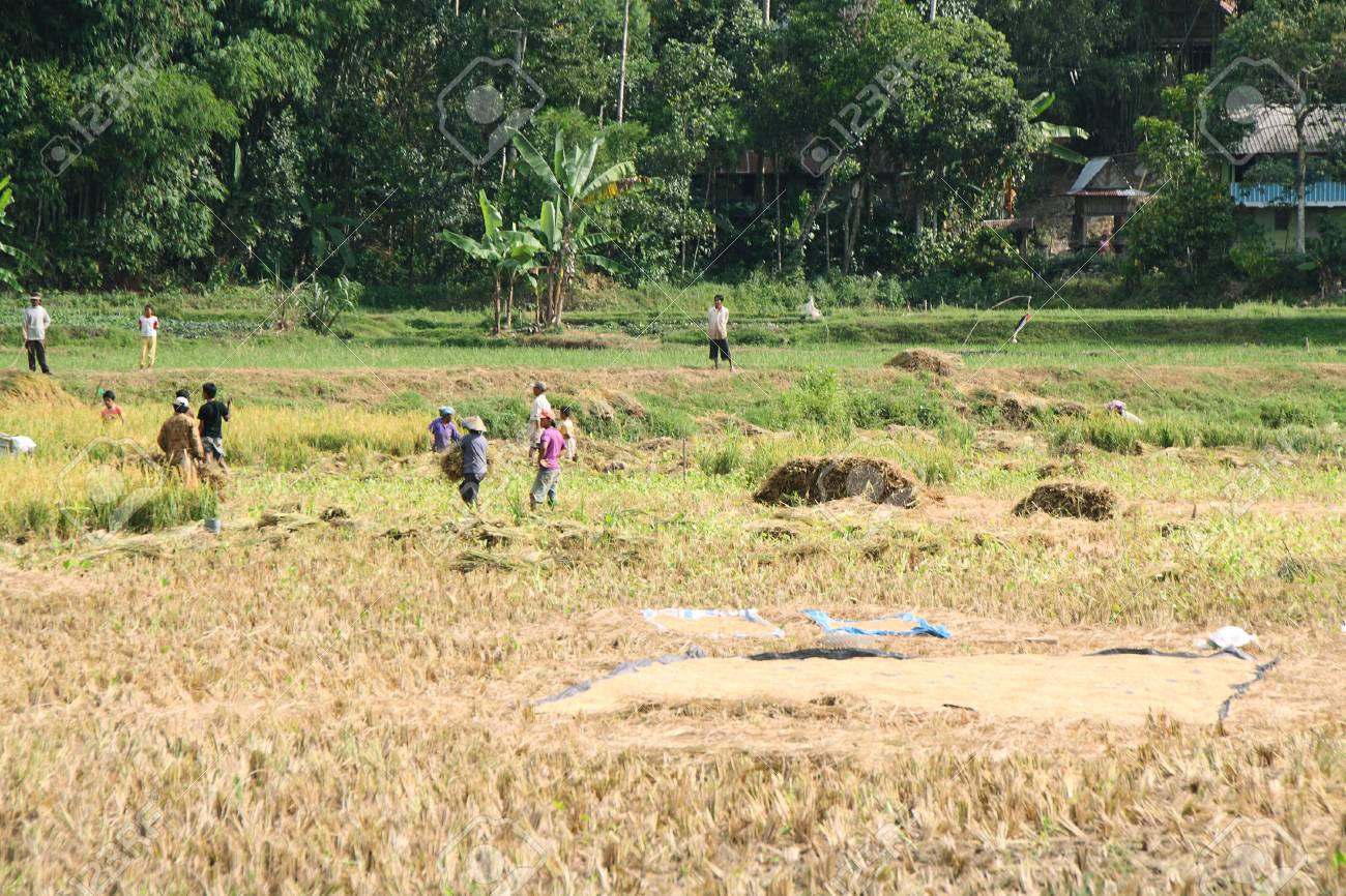 SULAWESI, INDONESIA - SEPTEMBER 10  Unidentified people working in rice fields on September 10, 2009 in regency known as Tana Toraja  Tana Toraja is home of Toraja minority ethnic group in South Sulawesi island, Indonesia Stock Photo - 25343197