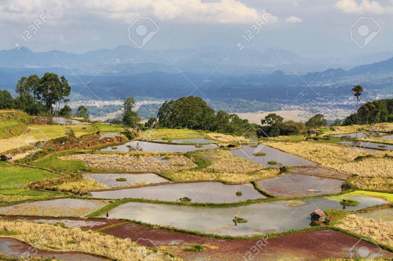 Green rice fields near the village of Limbong in Tana Toraja region of Sulawesi, Indonesia Stock Photo - 25409250