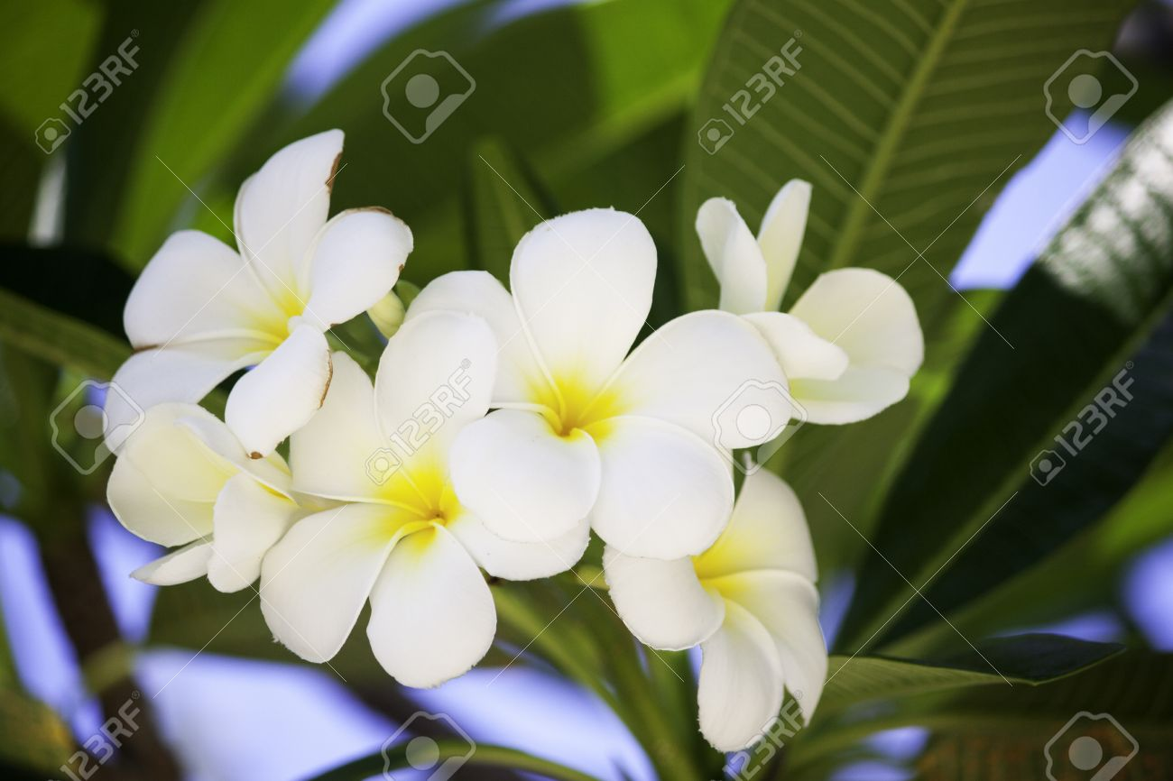 Good smell of white flower it name is lan tom or leelawadee stock good smell of white flower it name is lan tom or leelawadee on morning time mightylinksfo