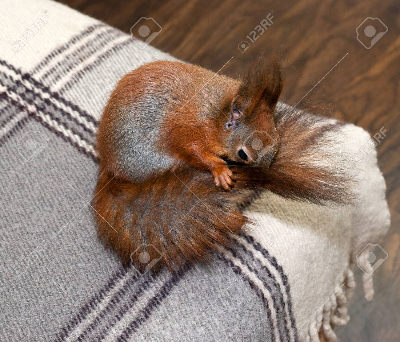 Red squirrel in the house Stock Photo - 24527850