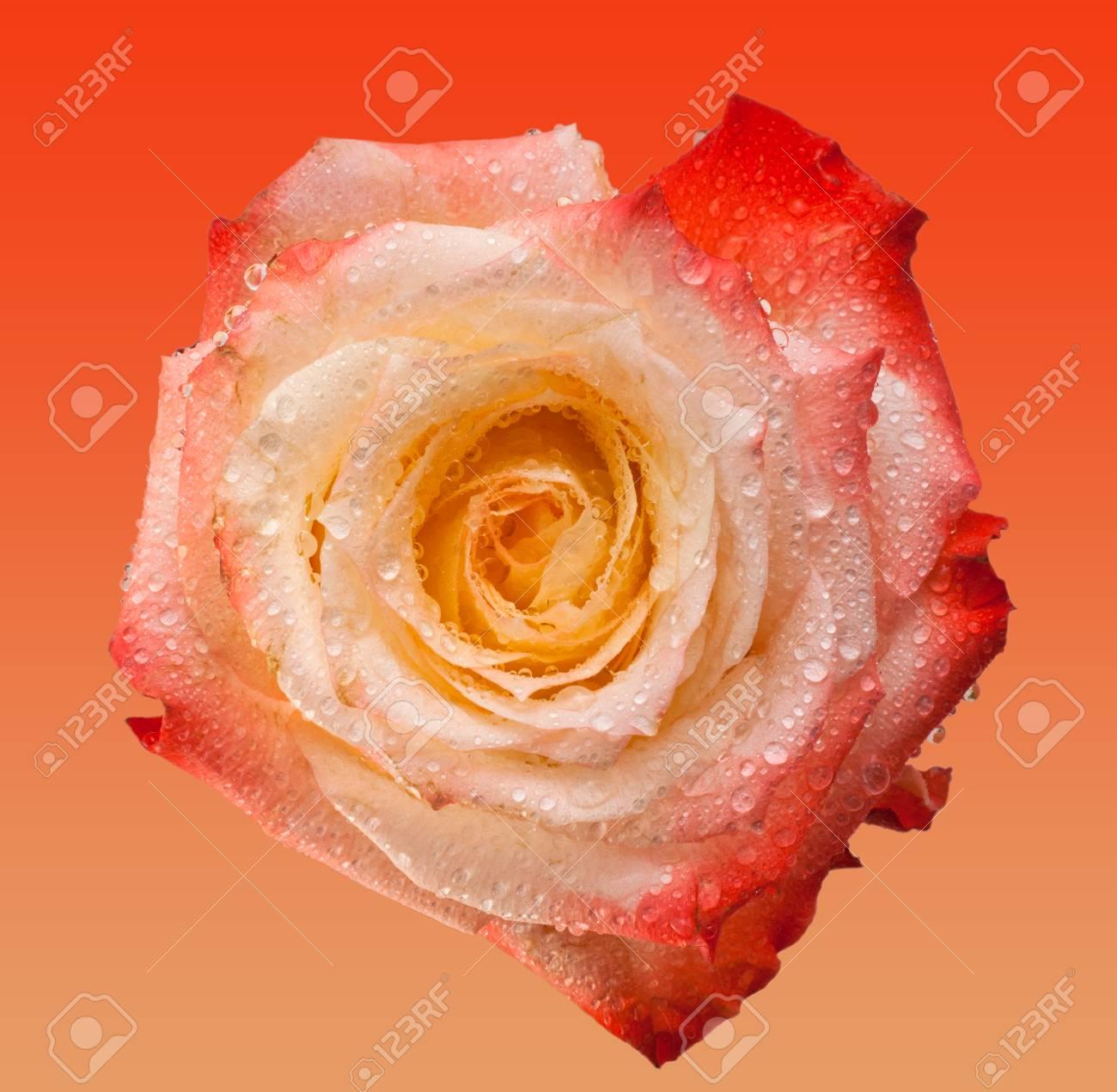 Rosa E Tè Di Fiori Su Sfondo Rosa Tenero Rosa Bella Testa E Acqua Di Rose Dropsmacro Foto Di Tè Rosa Vicino