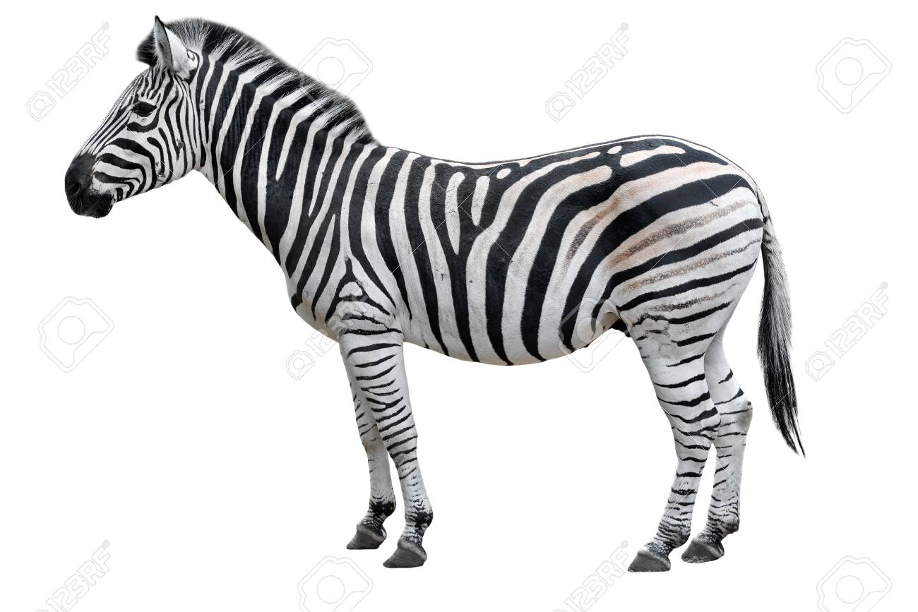 Zebra Cut Out Template from previews.123rf.com