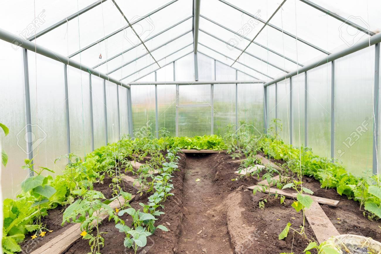 Gurken Und Tomaten Wachsen Im Gewachshaus Doppelhautiges