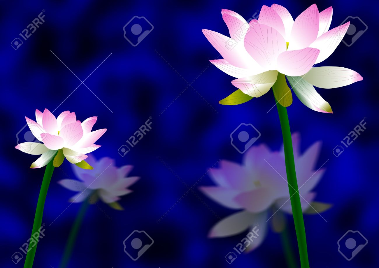 Pink And White Lotus Flowers With A Blue And Black Background Stock