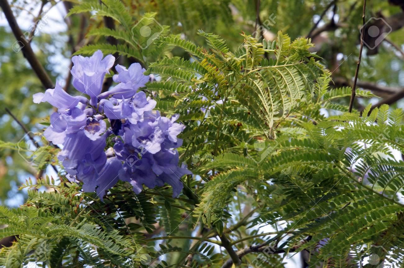 Palisanderholzbaum  Jacaranda, Palisanderholzbaum (Jacaranda Mimosifolia), Tenerife ...