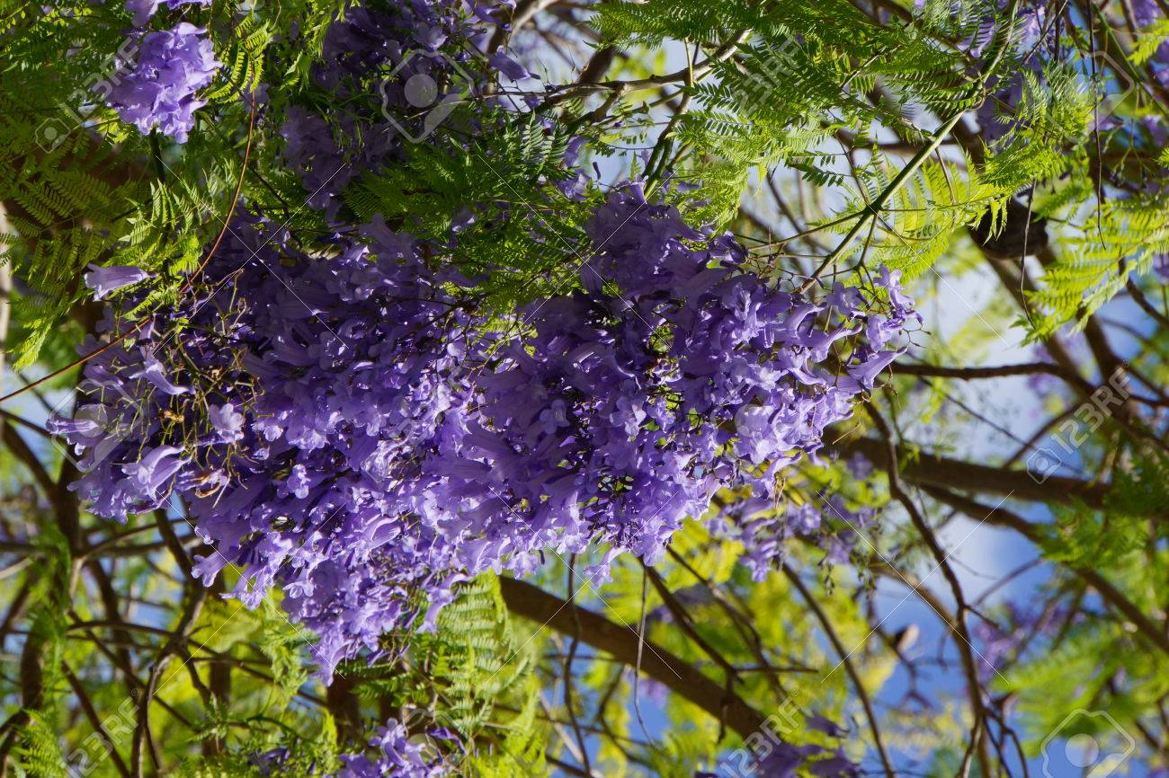 Palisanderholzbaum  Palisanderholzbaum Jacaranda Mimosifolia Stock Photo, Picture And ...