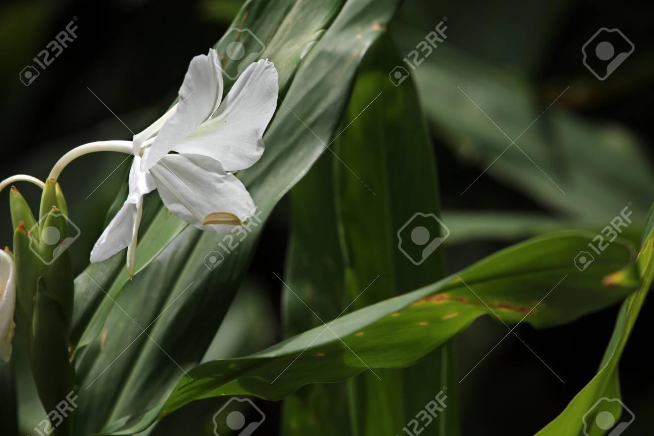 White Garland Lily White Ginger Lily Hedychium Coronarium Stock